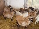 Schafe und Ziegen_10