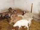 Schafe und Ziegen_11