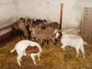 Schafe und Ziegen_12