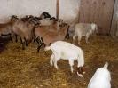 Schafe und Ziegen_13