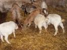 Schafe und Ziegen_14