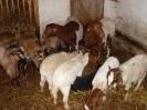 Schafe und Ziegen_16
