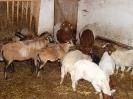 Schafe und Ziegen_17