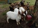 Schafe und Ziegen_18