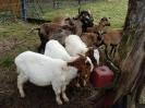 Schafe und Ziegen_19