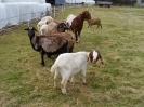Schafe und Ziegen_21