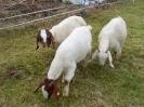 Schafe und Ziegen_23