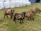 Schafe und Ziegen_24