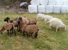 Schafe und Ziegen_25