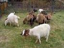 Schafe und Ziegen_26