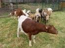 Schafe und Ziegen_27