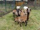 Schafe und Ziegen_28