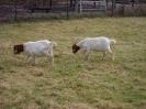 Schafe und Ziegen_29