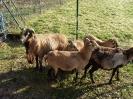 Schafe und Ziegen_2