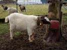 Schafe und Ziegen_30