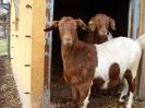 Schafe und Ziegen_31