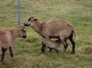 Schafe und Ziegen_32