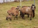 Schafe und Ziegen_33