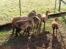 Schafe und Ziegen_3