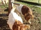 Schafe und Ziegen_4
