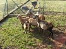 Schafe und Ziegen_5