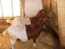Schafe und Ziegen_7