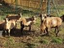 Schafe und Ziegen_9