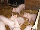 Schweine_11