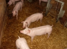 Schweine_14
