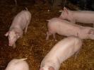 Schweine_16