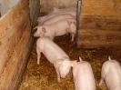 Schweine_18