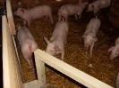 Schweine_20