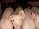 Schweine_22