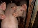 Schweine_23