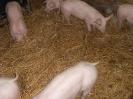 Schweine_28