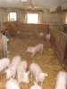 Schweine_2