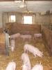 Schweine_3