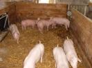 Schweine_6