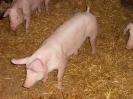 Schweine_7