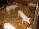 Schweine_9